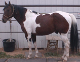 Registered paint horse